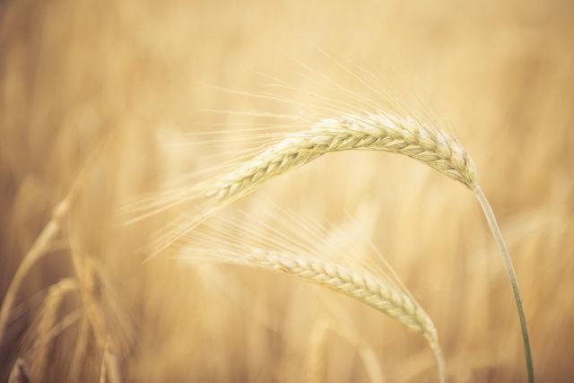 Ernte, Weizen, Landwirtschaft, Pflanze, Nahrung, Bauer